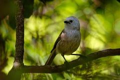 Whitehead - Mohoua albicilla - popokatea small bird from New Zealand, white head and grey body.  royalty free stock photos
