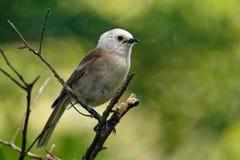 Whitehead - Mohoua albicilla - popokatea small bird from New Zealand, white head and grey body.  royalty free stock image