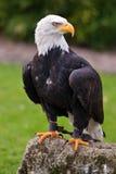 Whitehead sea eagle(haliaeetus leucocephalus) Royalty Free Stock Photography