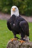 Whitehead sea eagle(haliaeetus leucocephalus) Stock Images