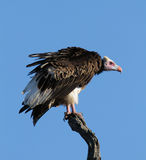 Whiteheaded vulture against blue sky Stock Image