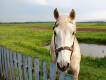 whitehorse Obraz Stock