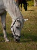 Whitehorse Royalty Free Stock Photo