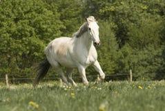 Whitehorse en el prado Foto de archivo libre de regalías