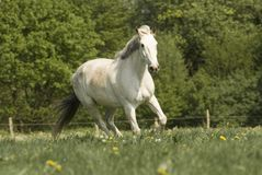 Whitehorse on the meadow Royalty Free Stock Photo