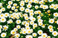 Whitel, manzanilla, flores, crisantemo, wildflowers, backgrou fotos de archivo libres de regalías