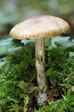 Whitelaced Shank Fungi Stock Image