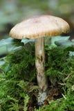 Whitelaced Shank Fungi. Megacollybia platyphylla Stock Image