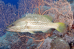 Whitelined Rockcod stock photos