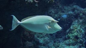 Whitemargin Unicornfish Royaltyfria Bilder