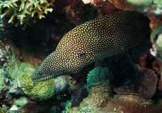 Whitemouth Moray Eel, Royalty Free Stock Image