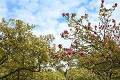 Whiteness and pink magnolia trees      Magnoliaceae Royalty Free Stock Photography