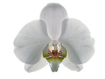 Whiteorchid_eagle_tiger Lizenzfreies Stockfoto