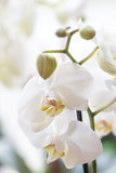 Whiteorchid, phalenopsis. Beautiful white orchidea in detail. blossoming Royalty Free Stock Photo