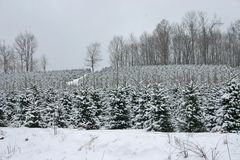 Whiteout dell'albero di Natale fotografia stock libera da diritti