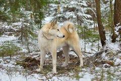 Whiter West Siberian Laika Stock Images