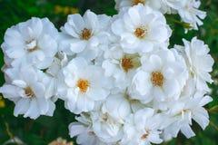 Whiteroses in garden Royalty Free Stock Image