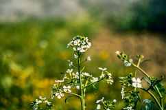 Whites Flowers. The small leaves with blurred background Stock Photos