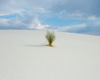Whites Sands Yucca Royalty Free Stock Image