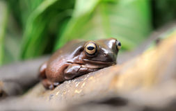 Whites tree frog Royalty Free Stock Images