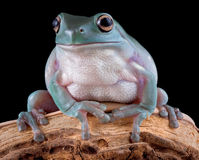 Whites tree frog on branch Royalty Free Stock Photography
