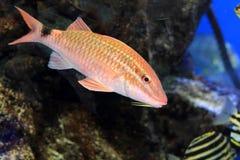 Whitesaddle goatfish stock image