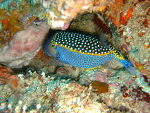 whitespotted boxfish Royaltyfri Foto