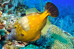 Whitespotted filefish Stock Images