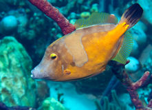 Whitespotted filefish. The yellow body of the whitespotted filefish stands out against the reef background Royalty Free Stock Photos