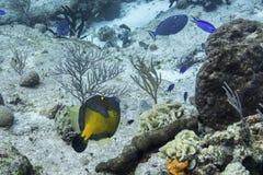 Whitespotted Filefish Obraz Royalty Free