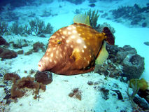 Whitespotted Filefish. An American Whitespotted Filefish swims in the current off Cozumel Island, Mexico Stock Photos