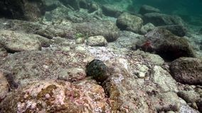 Whitespotted grouper Epinephelus coeruleopunctatus, red sea star, Whitespotted Surgeonfish Acanthurus guttatus in Los Isoletes stock video footage