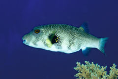 Whitespotted puffer Royalty Free Stock Photos