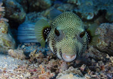 Whitespotted Puffer Stock Image
