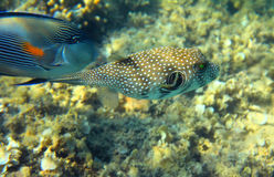 Whitespotted puffer fish Stock Image