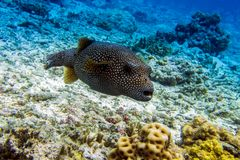 Whitespotted Puffer fish  Arothron hispidus ,close up,detail. Whitespotted Puffer fish  Arothron hispidus ,close up Royalty Free Stock Images
