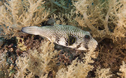 Whitespotted pufferfish on a coral reef Royalty Free Stock Photos