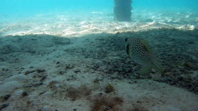 Whitespotted pufferfish. In Indian ocean stock footage