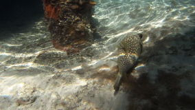 Whitespotted pufferfish. In Indian ocean stock video footage