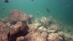 Whitespotted Surgeonfish Acanthurus guttatus Arothron meleagris  Guineafowl puffer  King Angelfish Holacanthus passer stock footage