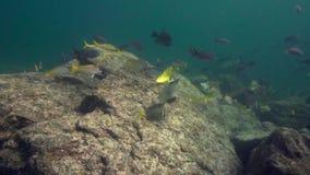 Whitespotted Surgeonfish Acanthurus guttatus, King Angelfish Holacanthus passer school of Striped large-eye bream Gnathodente stock footage
