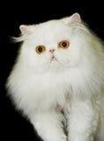 Whitest Cat Stock Photography