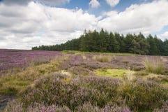 Whitestones Ridge. Heather and woodland near Whitestones Ridge, in the Hambleton hills, North Yorkshire, England Stock Photography