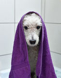 Whitet poodle after a bath Royalty Free Stock Image