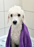 Whitet poodle after a bath Royalty Free Stock Photos