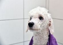 Whitet poodle after a bath Stock Photography