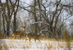 whitetail лани самеца оленя Стоковые Фото