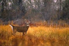 whitetail лужка самеца оленя Стоковая Фотография RF