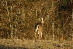 whitetail оленей идущий Стоковые Изображения RF