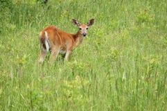 whitetail оленей кнопки самеца оленя Стоковое Фото